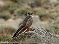Eurasian Hobby (Falco subbuteo) (21542366140).jpg