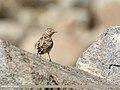 Eurasian Skylark (Alauda arvensis) (40995663074).jpg