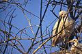 Eurasian Spoonbills (Platalea leucorodia) adult with chick (20548135280).jpg
