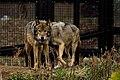 Eurasian wolf (33078962554).jpg