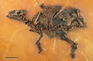 Eurohippus - E. messelensis fossil with fetus (encircled)