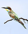 European bee-eater, Merops apiaster, at Rietvlei Nature Reserve, Gauteng, South Africa (15430349933).jpg