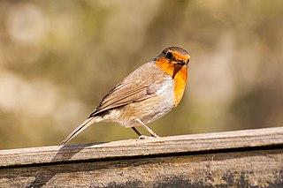 European robin (Erithacus rubecula), Bristol, UK.jpg