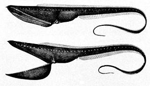 Pelikanaal (Eurypharynx pelecanoides)