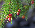Even the spruce... (2501630266).jpg