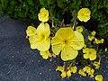 Evening Primrose (Oenothera Biennis).jpg