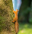 Evropska veverica (Sciurus vulgaris), Eurasian red squirrel.jpg