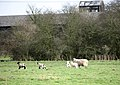 Ewe with lively quadruplets - geograph.org.uk - 710227.jpg