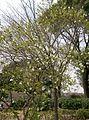 Exochorda racemosa3.jpg