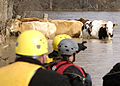 FEMA - 34519 - A large animal rescue group attempt to heard stranded cattle in Missouri.jpg