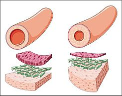 Qué tipo de vasos sanguíneos tienen la presión arterial más alta