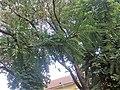 Fabales - Gleditsia triacanthos - 2.jpg