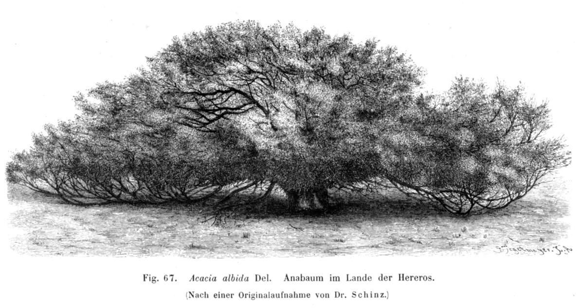 """Résultat de recherche d'images pour """"Acacia albida"""""""