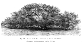 Description de l'image Faidherbia albida Taub67.png.