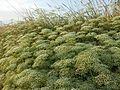 Falcaria vulgaris sl11.jpg