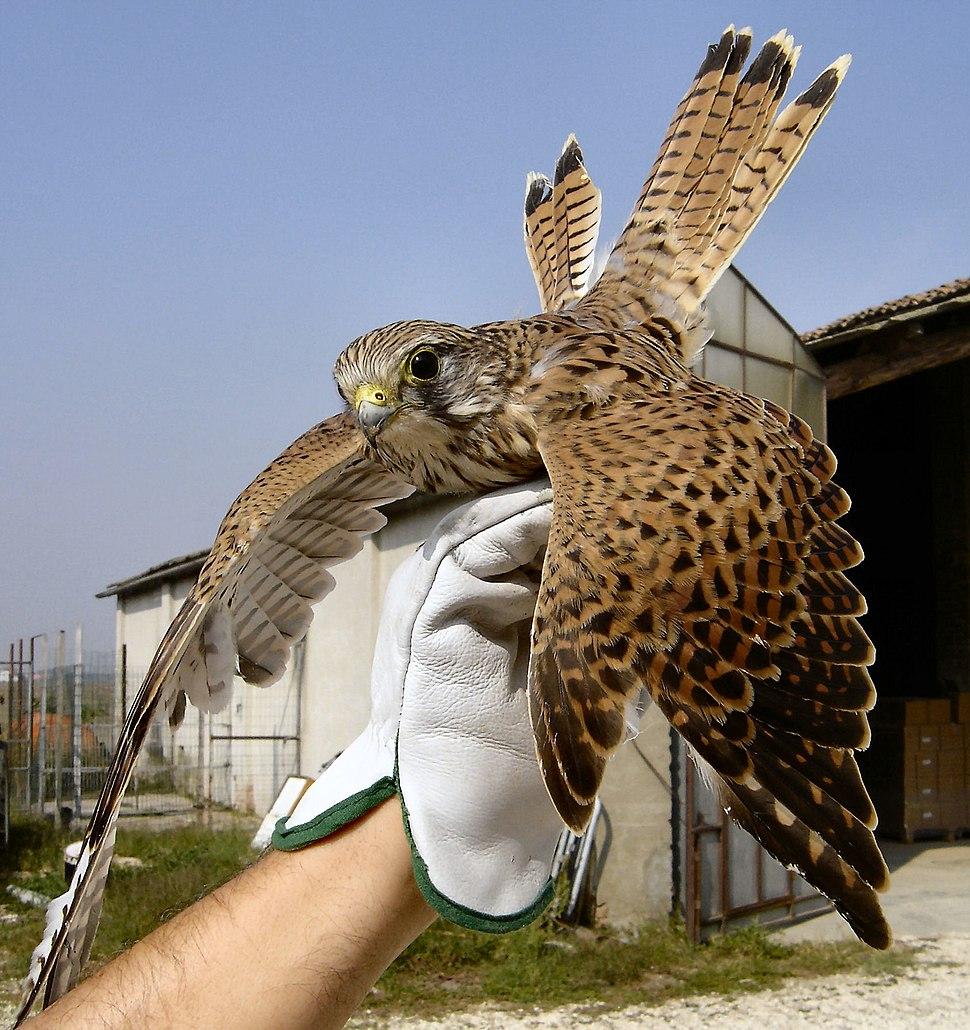 Falco tinnunculus NRM