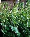 Falsche Alraunenwurzel (Tellima grandiflora) 6159.JPG