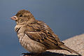 Female House Sparrow (passer domesticus) (8683921047).jpg
