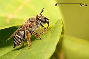 Anthophora sp. bee