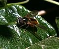 Ferdinandea croesus (male) - Flickr - S. Rae (1).jpg