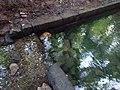 Ffynnon St Dyfnog - St Dyfnog's Well, Llanrhaeadr, Denbighshire, Wales 12.jpg