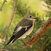 Ficedula hypoleuca (Madrid, Spain) 004.jpg