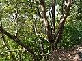 Ficus arnottiana (15662300594).jpg
