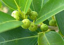 Ficus burtt davyi wikipedia - Variedades de ficus ...