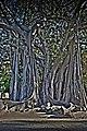 Ficus pzza marina-23 0 1 2-Edit.jpg