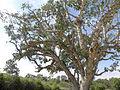 Ficus sycomorus Ashkalon 5.jpg