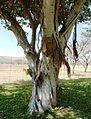 Ficus thonningii, stam en ranke, Waterberg.jpg
