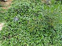Ficus tikoua - Kunming Botanical Garden - DSC03043