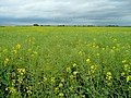 Field of rape - geograph.org.uk - 1323234.jpg