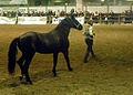 Fieracavalli 2014 - Cavallo Romano2.jpg