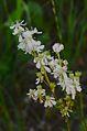 Filipendula vulgaris (8350337969).jpg