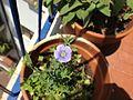 Fiore di lino.JPG