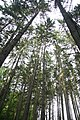 Fir trees of Nature reserve Jedlový les a údolí Rokytné near Radkovice u Hrotovic, Třebíč District.jpg