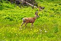 First day of the summer in the Alpine flowers of Sun Peaks...young Male Mule Deer ((Odocoileus hemionus) with antlers in velvet... (28296256855).jpg