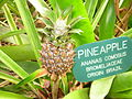 Flickr - brewbooks - Ananas comosus - Pineapple (1).jpg