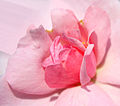 Flickr - law keven - A Pink Heart.....jpg