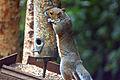 Flickr - law keven - Bird table raider.......jpg