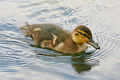 Flickr - law keven - Love a Duck...-O))).jpg