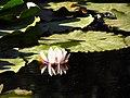 Flor del Loto, Parque Saval, Valdivia. - panoramio.jpg