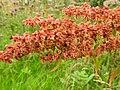 Flora (27984811586).jpg
