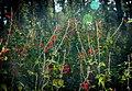 Flores Silvestres (246846767).jpeg