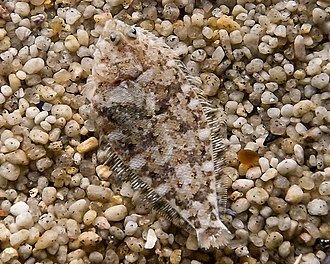 Multi-scale camouflage - A flounder's disruptive and active camouflage