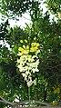 Flower-Kondal-Tamil Nadu.JPG