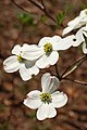 Flowering Dogwood Cornus florida Multiple Flowers 2000px.JPG