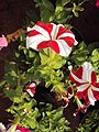 Flowers - Uncategorised Garden plants 32.JPG