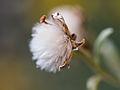 Fluffy flower (9516941569).jpg